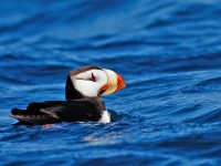 Horned Puffin _J4X2663