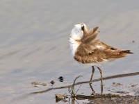 Kentish Plover _M2A0452