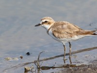 Kentish Plover _M2A0501 copy