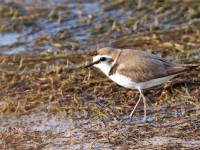 Kentish Plover_M2A9406