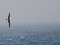 Laysan Albatross _J4X2808 copy