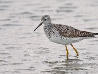 Lesser Yellowlegs _J4X8030