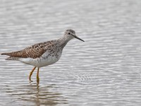 Lesser Yellowlegs _J4X8070