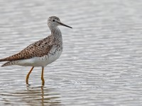 Lesser Yellowlegs _J4X8076