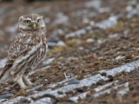 Little Owl _J4X8950