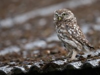 Little Owl _J4X8971