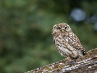 Little Owl _J4X9025