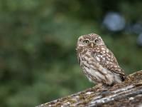 Little Owl _J4X9025