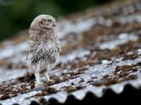 Little Owl _J4X9142