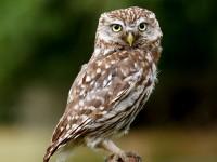Little Owl _M2A8996