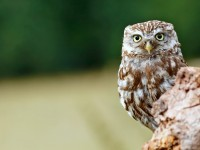 Little Owl _M2A9087 copy