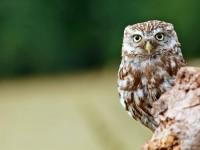 Little Owl _M2A9087 copy