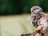 Little Owl _M2A9092 copy