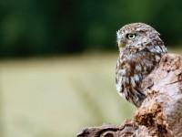 Little Owl _M2A9092 copy