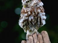 Little Owl _M2A9136