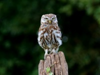Little Owl _M2A9168