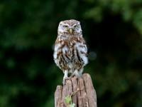 Little Owl _M2A9168