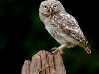 Little Owl _M2A9325