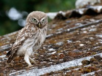 Little Owl _M2A9347