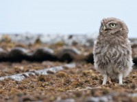 Little Owl_J4X9069