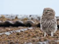 Little Owl_J4X9069