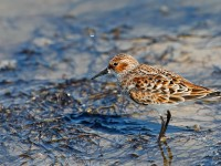 Little Stint _J4X0532