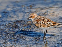 Little Stint _J4X0534