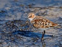 Little Stint _J4X0542
