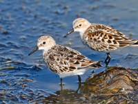 Little Stint _J4X0594