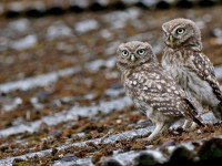 Littlle Owl _M2A9298