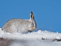 Mountain Hare 1A _J4X4743 copy