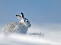 Mountain Hare 1A _J4X4802 copy