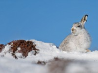 Mountain Hare 1A_J4X4728 copy