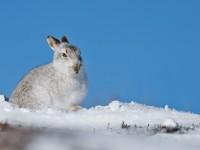 Mountain Hare 1A_J4X4733 copy