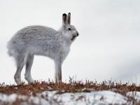 Mountain Hare _J4X4654