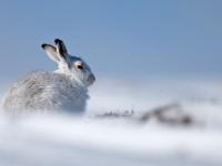 Mountain Hare _J4X4803