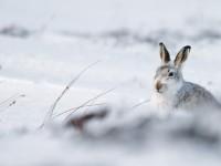 Mountain Hare _J4X5010