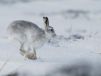 Mountain Hare _J4X5047