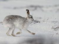 Mountain Hare _J4X5048