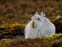 Mountain Hare _J4X6445