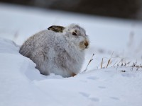 Mountain Hare _M2A3306