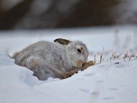 Mountain Hare _M2A3389