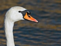 Mute Swan _J4X7295 copy