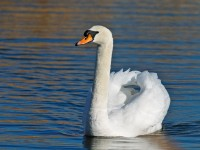 Mute Swan _J4X7313 copy
