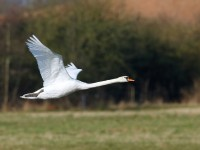 Mute Swan _J4X7338