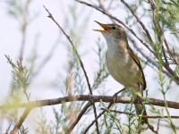 Olivaceous Warbler _M2A7697