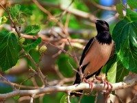ROSE-COLOURED STARLING _M2A8179