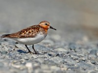 Red-necked Stint _J4X4783