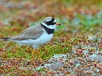 Ringed Plover _M2A8478