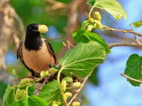 Rose-coloured Starling _M2A8144